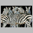 cross stitch pattern Zebra Huddle