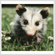 cross stitch pattern Opossum Joey (Crop)
