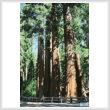 cross stitch pattern Redwood Trees